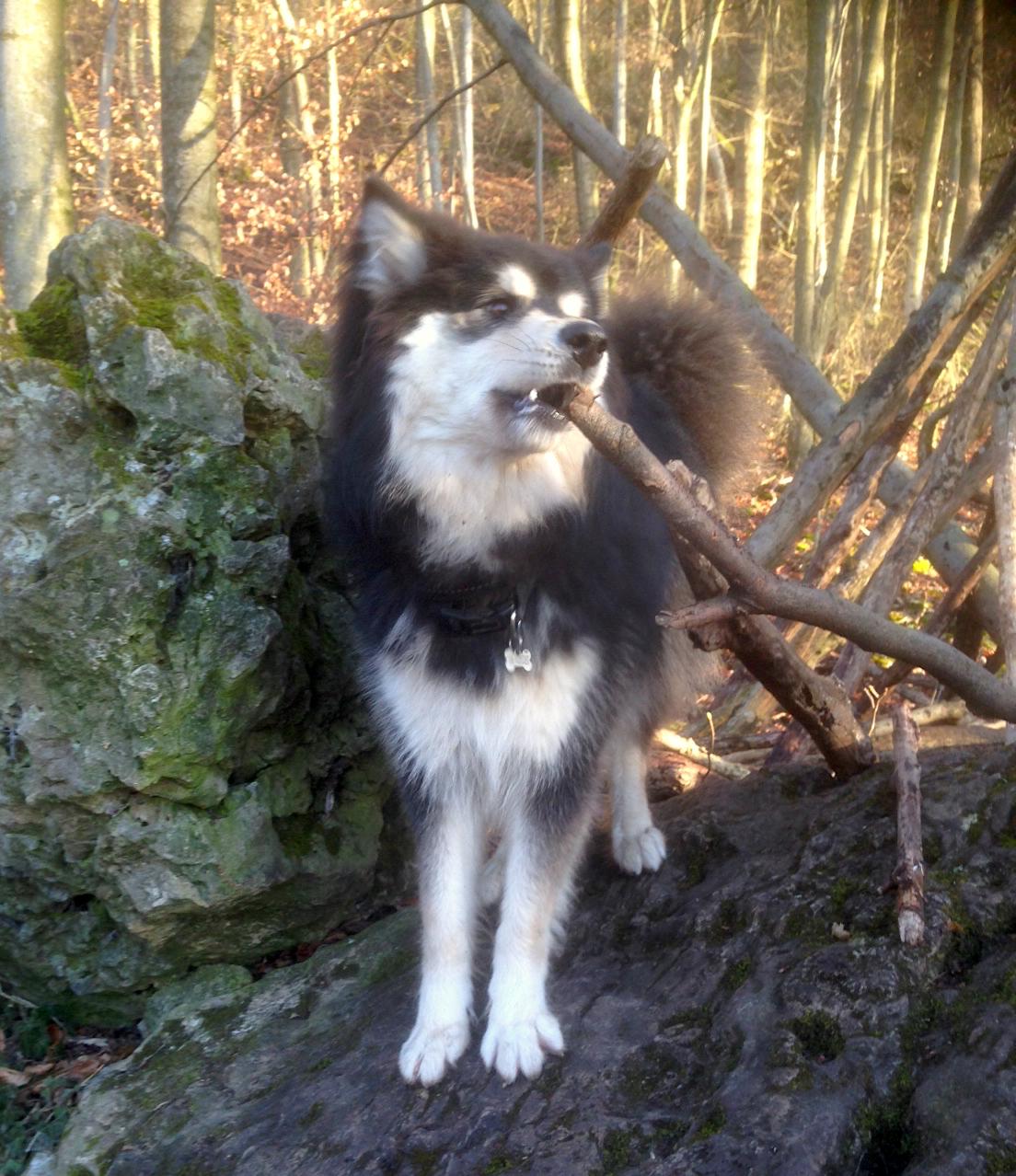 Finnischer Lapphund Kamu
