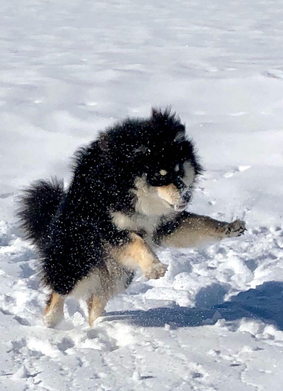 Finnischer Lapphund Kasper
