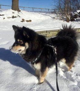Finnischer Lapphund Keeva