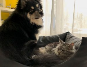 Finnischer Lapphund Kekoa