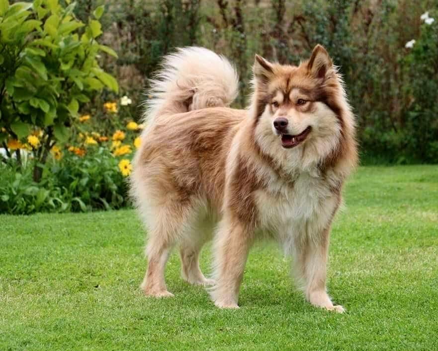 Paimenkoira - Finnischer Lapphunde Kennel